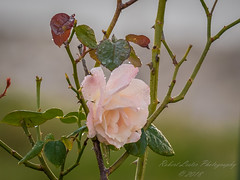 High Society rose... (amworkf+ exp)...2018-03-10-3100006 (robertlesterphotography) Tags: 14xscreen 30sec 300mm ap eb10 f4 highsocietyrose iso500