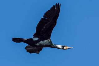 Cormorant  -  Kormoran