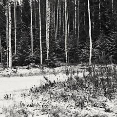 Impression (Stefano Rugolo) Tags: stefanorugolo pentax k5 pentaxk5 kepcorautowideanglemc28mm128 monochrome forest tree squareformat impression blackandwhite nature road landscape hälsingland sweden sverige