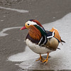 Mandarin on ice (Graham Dash) Tags: aixgalericulata mandarinducks savillgarden windsorgreatpark birds ducks ice 2018pad
