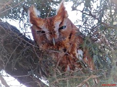 Great Horned Owlet in the Backyard (Anton Shomali - Thank you for over 1 million views) Tags: young baby beauty beautiful branches trees tree eyebrows eyes ears nose owl bigbird bird great horned owlet backyard