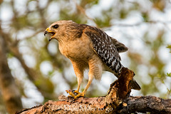 Red-sholdered hawk (with snack) (DonMiller_ToGo) Tags: wildflorida wildlife hawk nature onawalk birds outdoors birdwatching d810 redsholderhawk florida