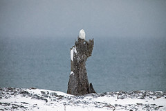 Why is it called a Snowy Owl version 2. (stu8fish) Tags: snowyowl ontario island amherstisland owl stu8fish buboscandiacus