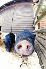 Plug Socket (CoolMcFlash) Tags: pig nose snout animal winter snow head fisheye sigma 10mm canon eos 60d schwein schnauze tier schnee kopf portrait fischauge fotografie photography funny zaun gehäge bauernhof farm