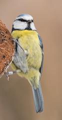 Blue Tit -  Cyanistes caeruleus (AJT | Aviation Photography) Tags: bluetit cyanistescaeruleus rspb lakenheathfen wildlife britishwildlife ashleytownsend nikond500 tamronsp150600mmdivcusd bird birds nature
