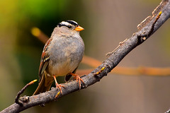 """White-crested_Sparrow_01 (DonBantumPhotography.com) Tags: wildlife nature birds animals whitecrestedsparrow """"donbantumphotographycom"""" """"donbantumcom"""" """"nikon d7200"""" """"afs nikkor 200500mm f56e ed vr"""""""