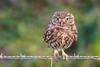 Pequeñas garras (sergio estevez) Tags: aves bokeh color campodegibraltar fauna kenko15x mochuelo nikonafs300mmf4 posadero pajaro sergioestevez