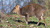 Muntjac (image 1 of 3) (Full Moon Images) Tags: rutland water wildlife trust nature reserve animal mammal muntjac