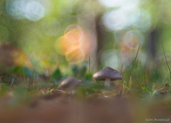 November  Mushrooms (Eden Bromfield) Tags: mushrooms frost persist nature bokeh primoplan meyeroptikprimoplan5819 vintagelens edenbromfield canada november meyeroptik fungus fungi agaric woodland