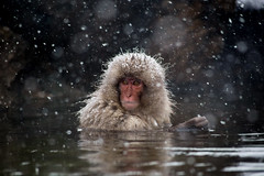 Japanese Macaque in a hot spring in a snowstorm (Hanstography) Tags: nature snowmonkey snow monkey japan jigokudani nagano spa water jigokudaniyaenkoen hotsprings cold outdoor park primates asian wild naganoprefecture onsen zoology asia thenatureofjapan cute animal winter travel wildanimals yudanaka japanese wildlife protectionofanimals hot macaques pretty fur jigokudanimonkeypark japanesemacaque fluffy hotspring macaque portrait face freezing primate ancestors snowfall observe eyes spring