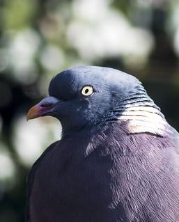pigeon dove doo type thang