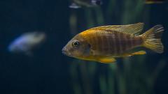 10356 (PhillipsVonNoog) Tags: animal animals tennessee aquarium wildlife fish malawi cichlid cichlids