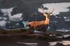 Red deer (Joseba Alberdi Lizarazu) Tags: deer stag wildlife mammal majestic mamífero ugaztuna ciervo oreina sunset goldenhour basafauna male macho harra vallesaltosdelnansaysajayaltocampoo