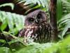 Ruru (Morepork) - cute (digitaltrails) Tags: zealandia morepork ruru ninoxnovaeseelandiae