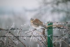 Living in a winter fairy-tale (7) (Inka56) Tags: fence icicles frozen fieldfare bird winter winterbeauty hff naturallight outdoor liana flora 7dwf