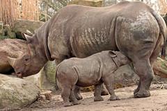black rhino Naima and Mara Blijdorp BB2A0629 (j.a.kok) Tags: rhino rhinoceros blackrhinoceros zwarteneushoorn neushoorn puntlipneushoorn animal blijdorp mammal zoogdier dier herbivore africa afrika naima mara