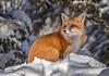 Red Fox (Chris St. Michael) Tags: redfox fox nature naturephotography wildlife wildlifephotography snow animal