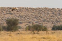 Great Indian Bustard | Ardeotis nigriceps | ग्रेट इंडियन बस्टर्ड | Critically Endangered (Paul B Jones) Tags: india greatindianbustard ardeotisnigriceps ग्रेटइंडियनबस्टर्ड criticallyendangered iucn rare bird wildlife nature conservation canoneos1dxmarkii ef500mmf4lisiiusm ef14xiii indiya inde indien indië asia asian tourist tourism travel ecotourism indian