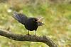 Xoxo beltz bat (josuneetxebarriaesparta) Tags: xoxo zozo txoria hegazti mirlo tprdusmerula ave pájaro bird animali animal