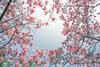 新社 櫻花 (張麗芬) Tags: taiwan 台中市 新社 月湖莊園 吉野櫻 櫻花 粉紅色 春天