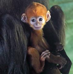 francoislangur Blijdorp BB2A9480 (j.a.kok) Tags: langoer langur francoislangoer francoislangur aap animal asia azie blijdorp mammal monkey zoogdier dier primaat primate