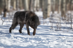 Wolfdog (Explore Mar 12/2018) (Canon Queen Rocks (2,090,000 + views)) Tags: animals dogs wolf black animal nature snow trees eyes