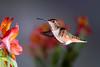 A Young Allen's (Patricia Ware) Tags: allenshummingbird alstroemeria backyard birdsinflight california canon fullframe manhattanbeach multipleflash selasphorussasin tripod httppwarezenfoliocom ©2016patriciawareallrightsreserved specanimal