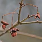 Burning Bush Seed Pods thumbnail