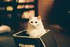 CNV000021 (雅布 重) Tags: f100 nikkor 50mm f14d tudorcolors xlx200 film snap japan tokyo 2018 cat 寵物 貓 木質