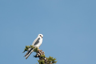 DSC_1639.jpg White-tailed Kite, UCSC Great Meadow