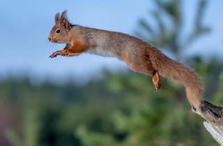 DSC3672  Red Squirrel..