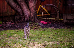 Bobby the Cat - On the Prowl (JuanJ) Tags: nikon d850 lightroom art bokeh nature lens light landscape white green red black pink sky people portrait location architecture building city iphone iphoneography square squareformat instagramapp shot awesome supershot beauty cute new flickr amazing photo photograph fav favorite favs picture me explore interestingness wedding party family travel friend friends vacation beach yard cat kitten tree lexington fayettecounty kentucky usa 2018 february tamron