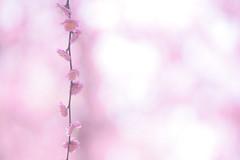 (*nollle*) Tags: nikon d5500 nature plumblossom sigma 150mm kyoto jonangu flower