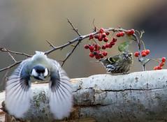 Anvedi questo che ladro !? (Danilo Agnaioli) Tags: umbria italia natura collinedelperugino inverno bird birdgardening canon7dmarkii sigma300