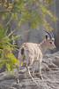 Nubian Ibex in Africa Rocks. (LisaDiazPhotos) Tags: nubian ibex africa rocks lisadiazphotos sdzsafaripark sdzoo sdzsp sandiegozoo sandiegozooglobal sandiegozoosafaripark