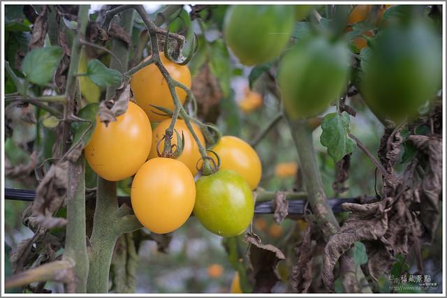 善化草莓 來去晴空農場找無農藥栽種的草莓 (20)