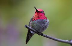 Beautiful gems (Thy Photography) Tags: gorget beautifulgems nature nectar flowers bird animal photography wildlife california outdoor ana'shummingbird hummingbird backyard