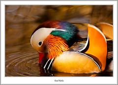 Mandarin, River Leven (flatfoot471) Tags: 2017 balloch bird duck mandarin march nature normal riverleven rural scotland spring unitedkingdom westdunbartonshire gbr