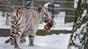 White Tiger (Márk Poósz) Tags: whitetiger bengaltiger pantheratigristigris feline