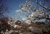 Mount Fuji,Ume Blossom (ULTRA Tama) Tags: mountfuji umeblossom spring fuji shizuoka japan mtfujiwhc ngc