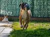 ~ M I A ~ (marimonnn) Tags: mylove love mascotas pet nikond5300 nikon enjoying pelota ball happy brown 365 mia boxer perros perro dogs dog