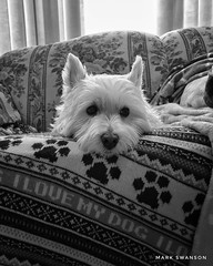 Always Watching (mswan777) Tags: mobile iphoneography iphone apple rest watch indoor monochrome westie michigan determined couch black terrier white highland west dog pet cute