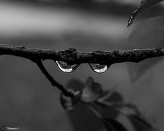 Dos Drops (that_damn_duck) Tags: blackwhite monochrome nature raindrops drops rain branch waterdrops droplets bw blackandwhite