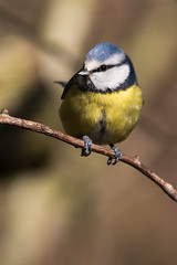 Blue Tit (mattbeee) Tags: beak beaks bird british colchester essex feathered feeder gardenbird hollowbones native wild wildlife zoo