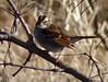 White-throated Sparrow (Dendroica cerulea) Tags: whitethroatedsparrow zonotrichiaalbicollis zonotrichia passerellidae passeroidea passerida passeri passeriformes psittacopasserae eufalconimorphae aves bird sparrow winter donaldsonpark highlandpark middlesexcounty nj newjersey