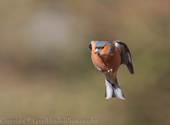 Chaffinch on invisible perch -  'Z' for zoom (hunt.keith27) Tags: tags second commonest breeding bird mostcolourful patternedplumage flash white wings outer tail feathers devon canon tree wood animal localwoodland sigma hovering