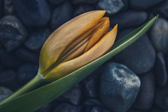 Dream... (Kathy M photography) Tags: tulip rock rocks flower fresh kathymphotography macrolens macro macrophotography flowerpower sony sonya65 sonyalpha