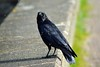 Crow and the flies (dan487175) Tags: crow flys birds fly damwall feathers draycotewater summer outdoors hot flies