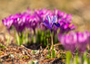 Apart from the crowd (mclcbooks) Tags: flower flowers floral iris irises crocus crocuses croci bulbs spring denverbotanicgardens colorado macro closeup