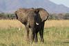 Lower_Zambezi-019 (Beverly Houwing) Tags: banks zambeziriver africa lowerzambezi zambia elephant feeding grass